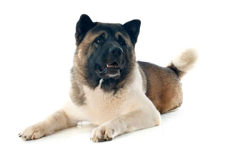 American Akita size and look