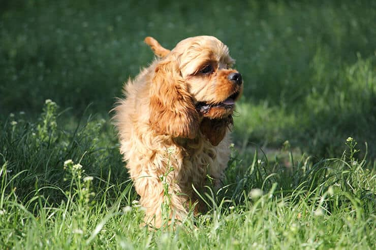 American Cocker Spaniel size and look