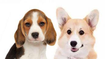 Beagle Corgi Mix