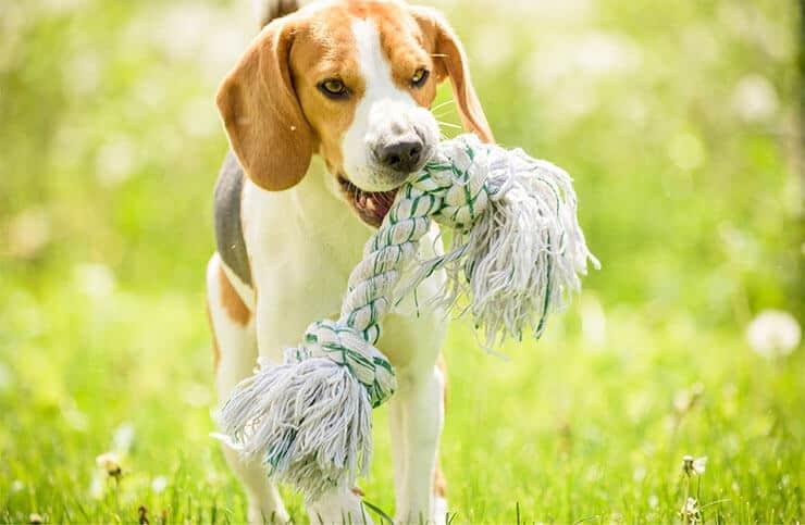 Beagle exercising
