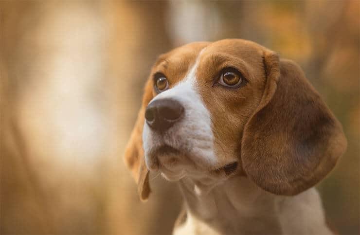 Beagle history