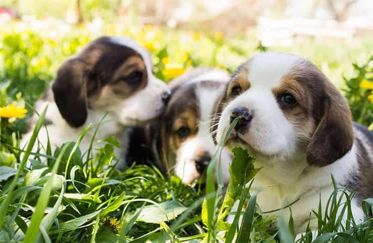 Beagle puppies price