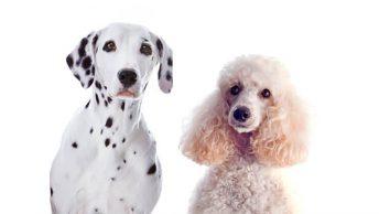 Dalmatian Poodle Mix