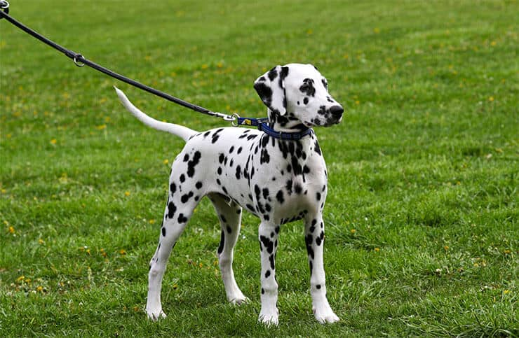 Dalmatian size and look