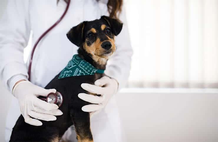 Follicular pyoderma in dogs