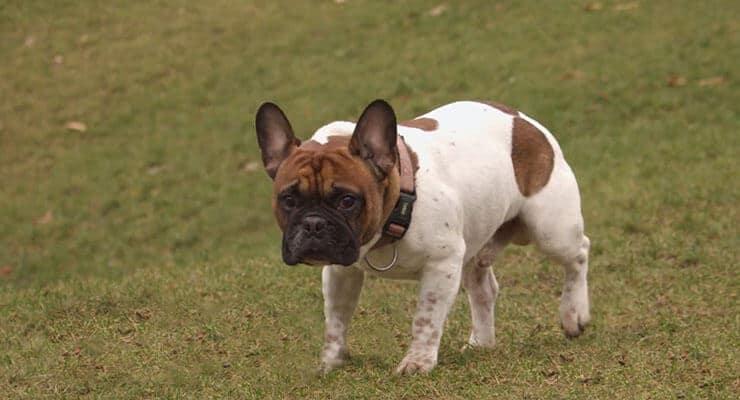 French Bulldog exercising