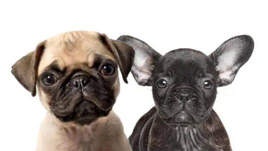 French Bulldog Pug Mix