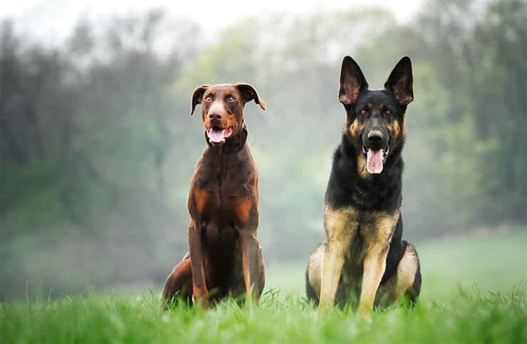 German Shepherd and Doberman
