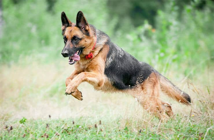 German Shepherd exercising