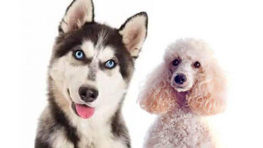 Husky Poodle Mix