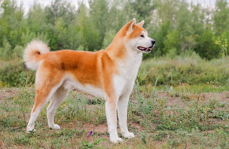 Japanese Akita Inu size and look