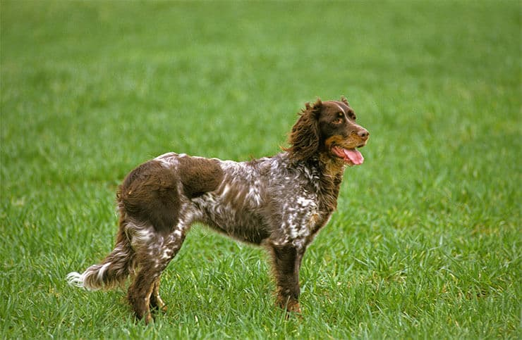 Picardy Spaniel size and look