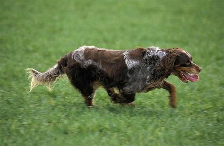 Picardy Spaniel training