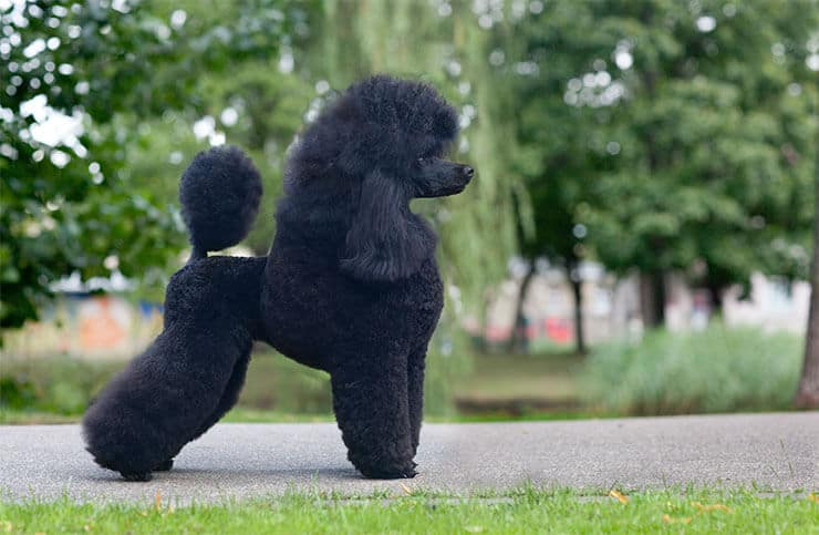 Poodle size and look