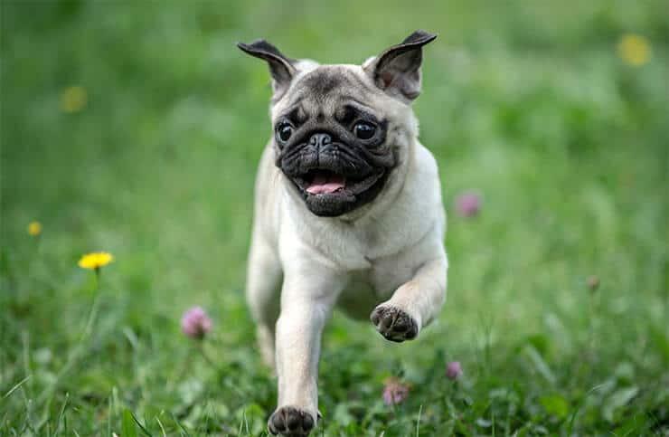 Pug exercising