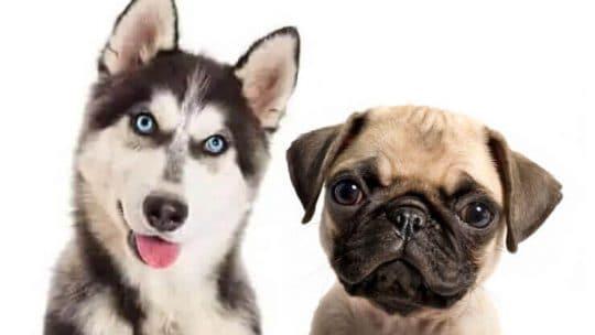 Pug Husky Mix