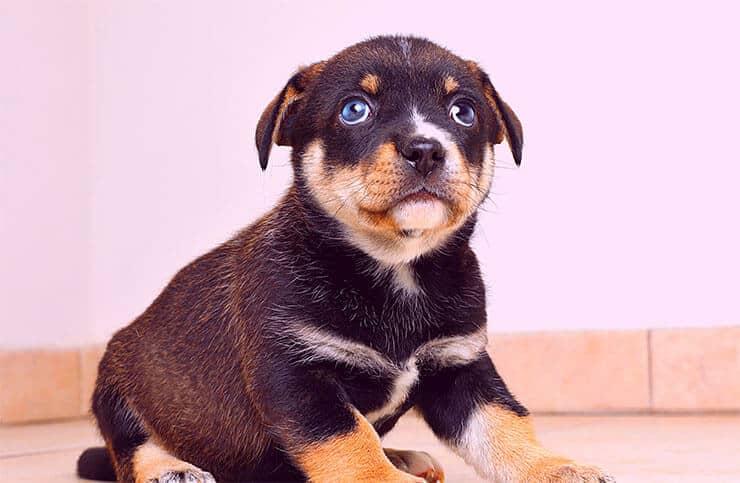 Beagle Husky Mix exercising