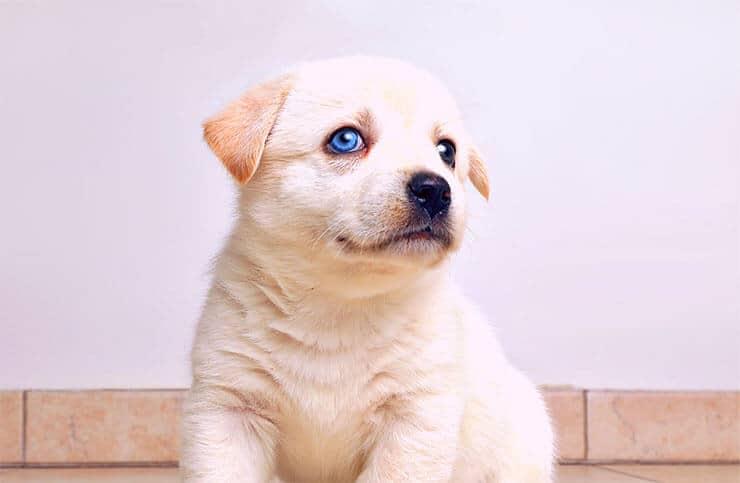 Beagle Husky Mix size and look
