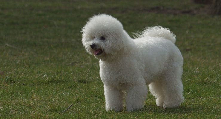 Bichon Frise size and look