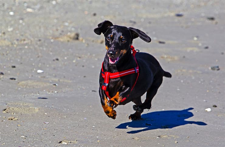 Does a harness stop my Dachshund from running