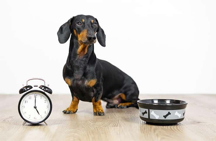 How much should a Dachshund eat