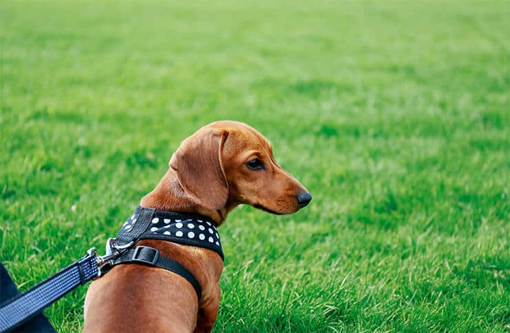 Is a dog harness good for a Dachshund