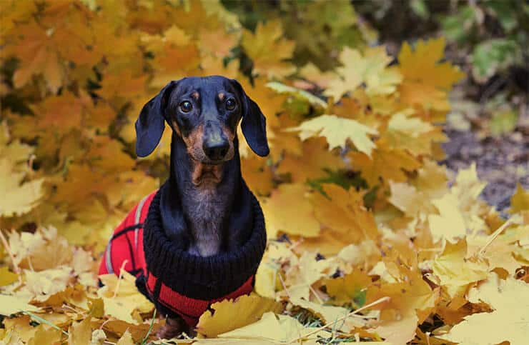 Warm dog sweaters for Dachshunds