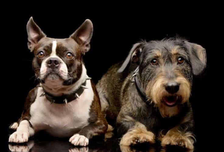 Boston Terrier and Dachshund mix