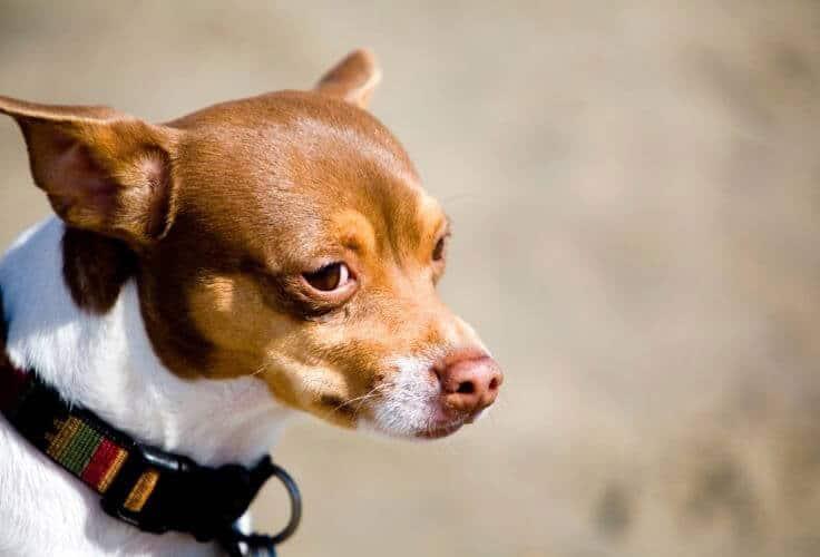 Rat-Cha mixed dog breed