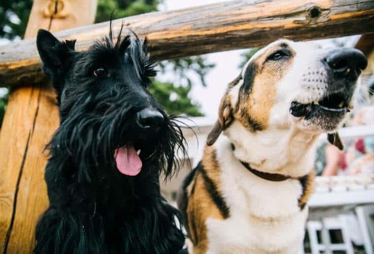 Scottish Terrier Dachshund mix (Doxie Scott)