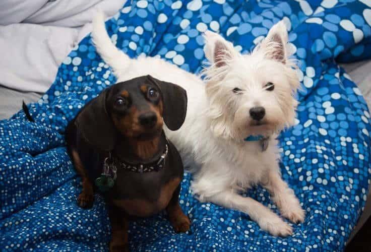 Westie Terrier Dachshund mix (West Highland Doxie)