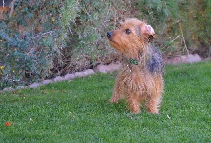 Yorkshire Terrier Dachshund mix (Dorkie)