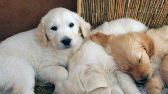 best Golden Retriever breeders and puppies in Texas