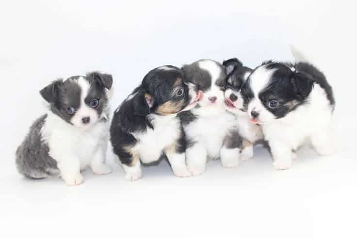 Chihuahua puppies for sale in Central Florida