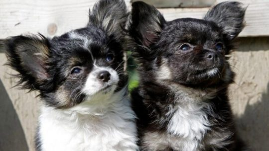 Chihuahua puppy breeders in Florida