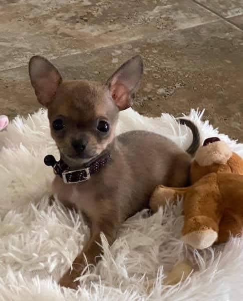 Uey's Chihuahua breeder in Florida